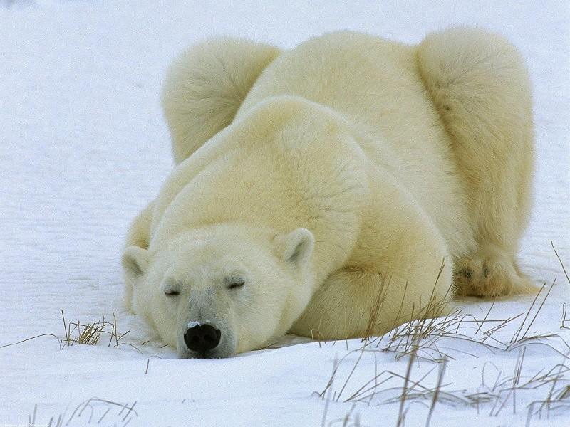 спят твои соседи белые медведи видео