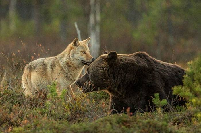 bears and wolves